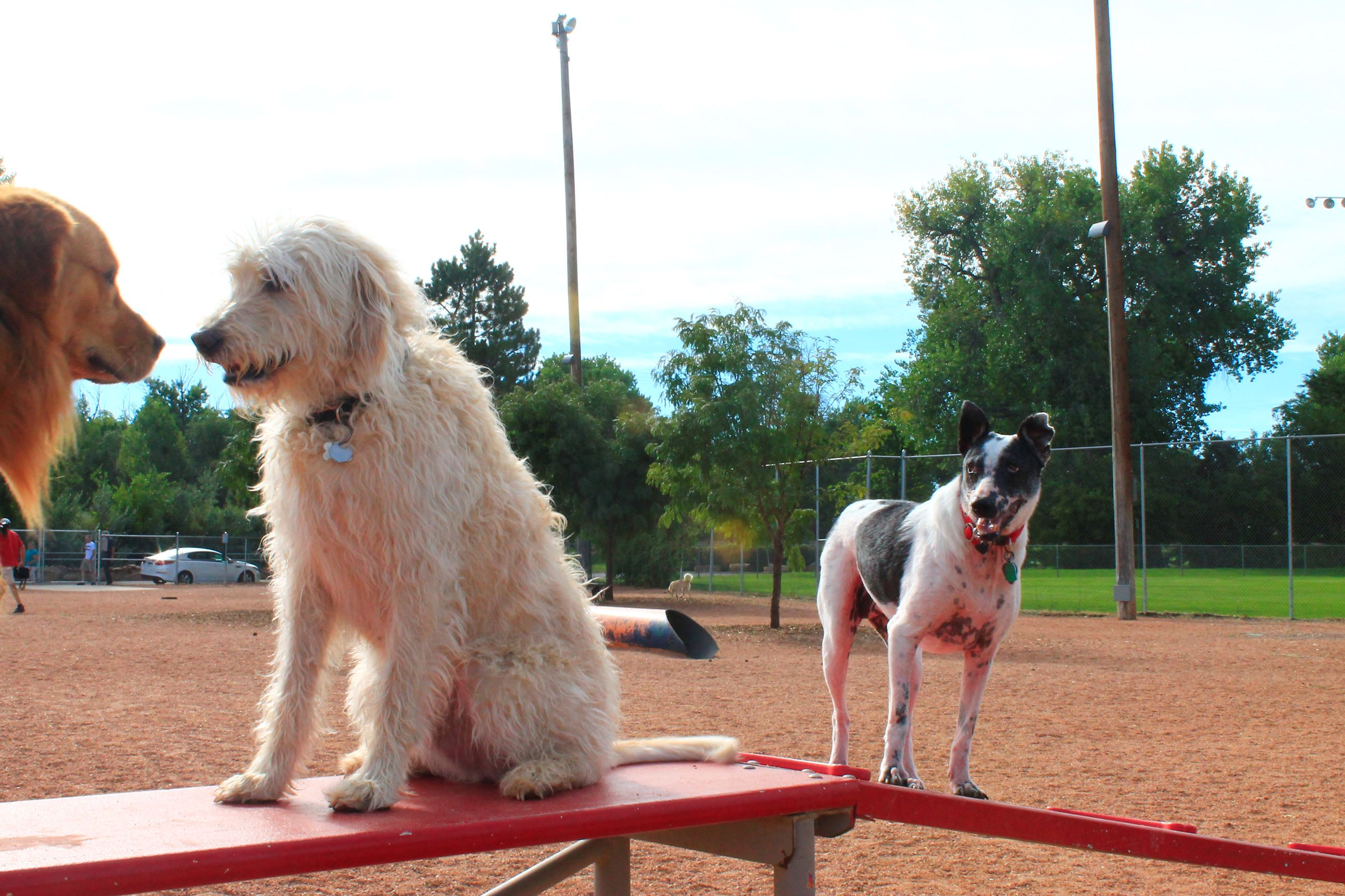 Three dogs on the seesaw at the dog park